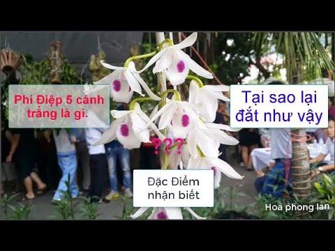 Cách phân biệt phi điệp 5 cánh trắng/5 cánh trắng đột biến/ hoa phong lan