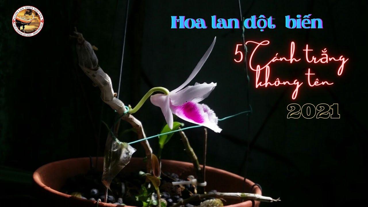 Hoa lan đột biến 5 cánh trắng không tên
