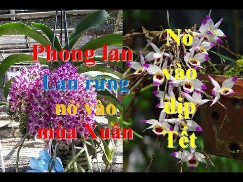 Hoa phong lan nở vào dịp Tết. Các loại hoa lan rừng nở vào mùa Xuân. Hoa lan chơi Tết