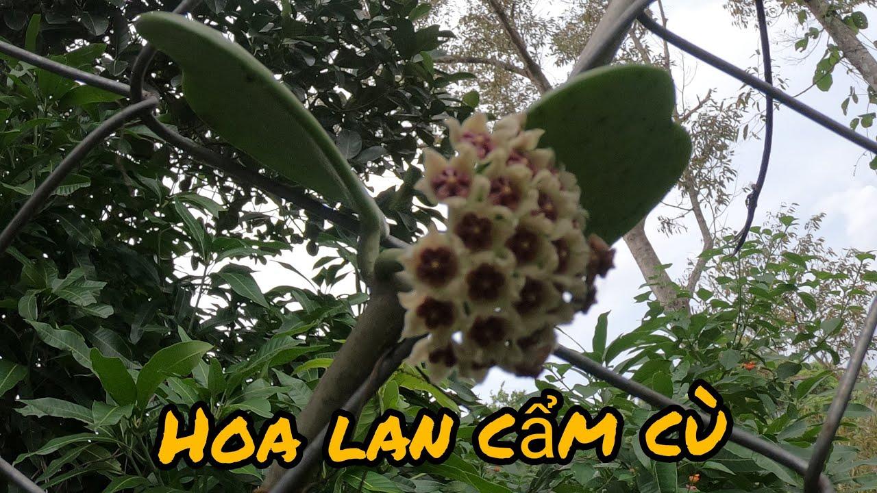 Phong lan rừng cẩm cù/ Orchid of Cam Cu forest