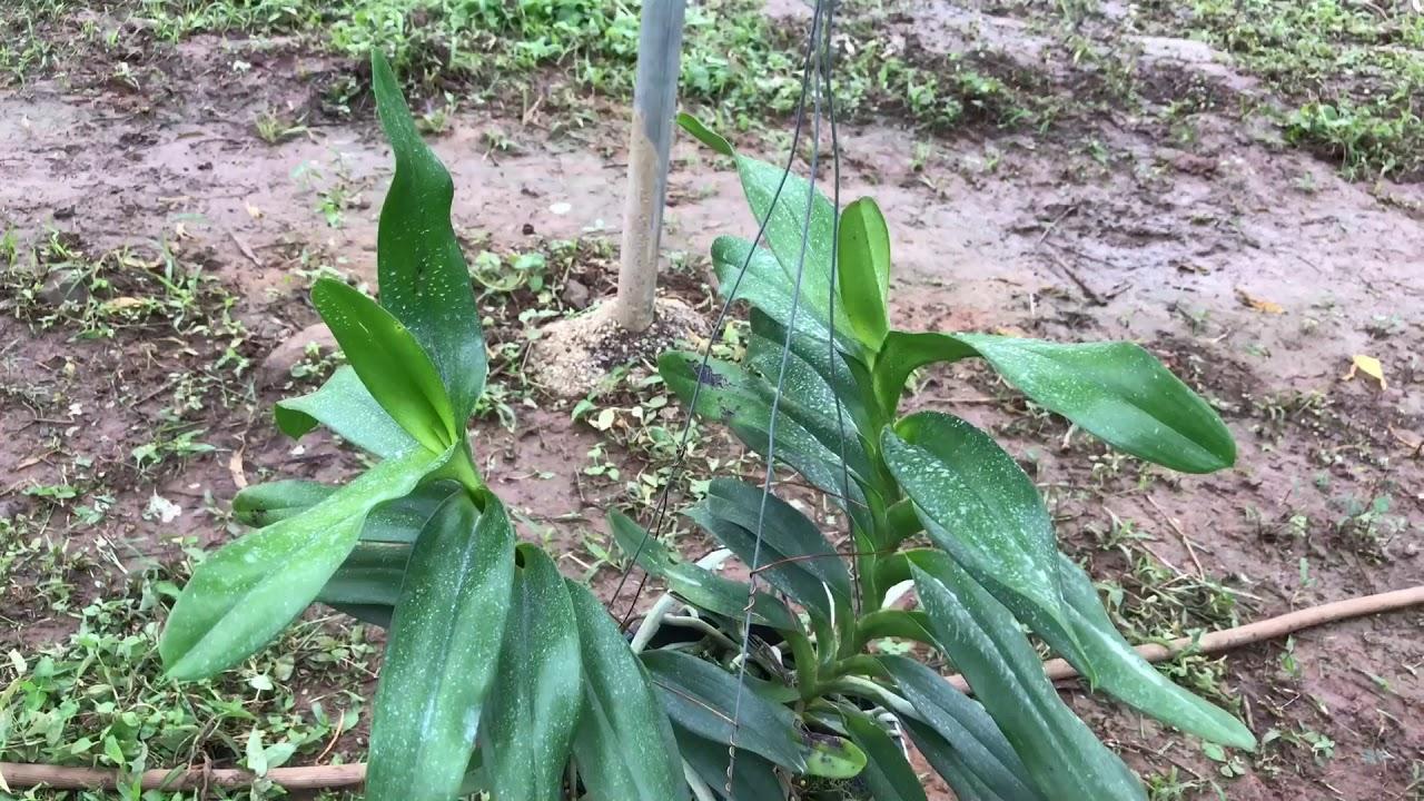 Tam bảo sắc trồng chậu. Sơn cầm