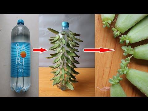 Trồng sen đá trong chai nhựa dễ như chơi   Growing stone lotus in plastic bottles is easy