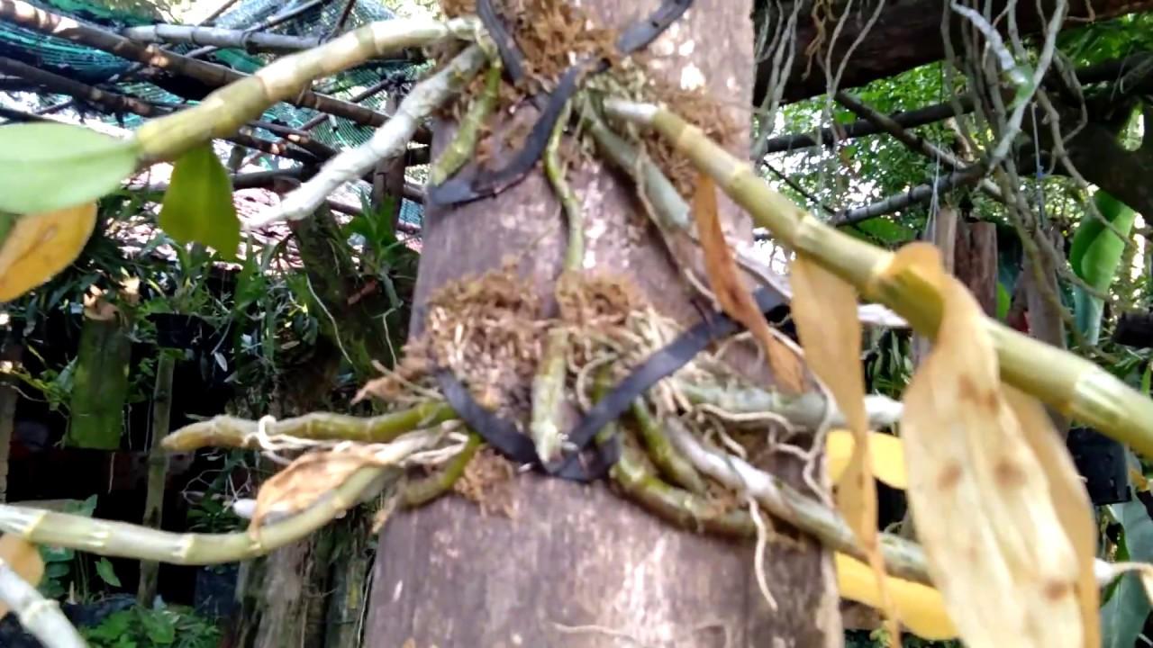Tưới nước đúng cách cho giò lan rừng mới ghép.