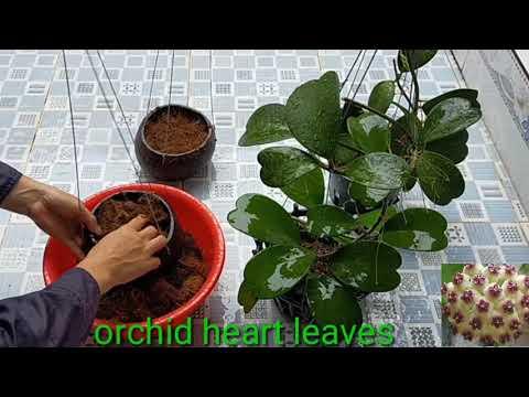phòng bệnh Covid ở nhà trồng lan cẩm cù trái tim. Orchid heart leaves.